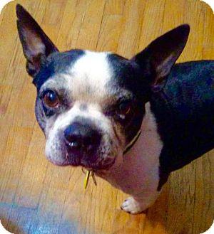 Boston Terrier Dog for adoption in Overland Park, Kansas - Rex Venonat