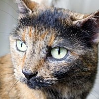 Domestic Shorthair Cat for adoption in Asheville, North Carolina - Amber