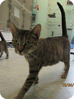 Domestic Shorthair Cat for adoption in Warrenton, North Carolina - Sweet Pea