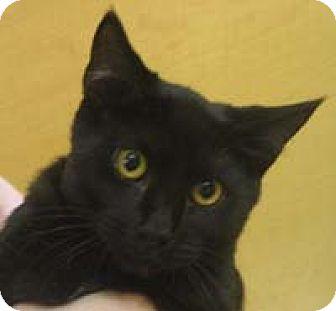 Domestic Shorthair Kitten for adoption in Garland, Texas - Raven