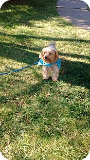 Yorkie, Yorkshire Terrier/Silky Terrier Mix Dog for adoption in Union Grove, Wisconsin - Hotey