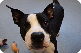 Pit Bull Terrier Mix Dog for adoption in Bay Shore, New York - Olivia