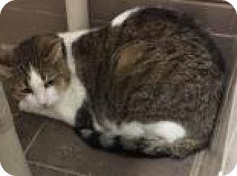 Domestic Shorthair Cat for adoption in Columbus, Georgia - Bash 4276