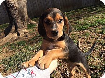 Beagle Mix Puppy for adoption in Spring Valley, New York - Leo (RBF)