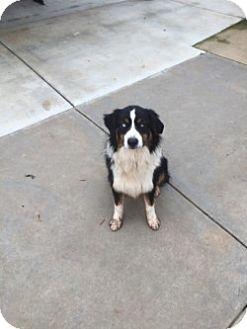 Anatolian Shepherd Dog for adoption in Gustine, California - SIMON