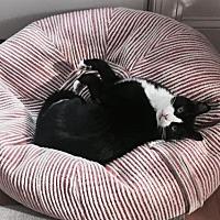 Adopt A Pet :: Mittens - Devon, PA