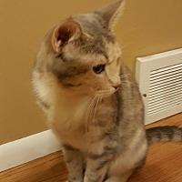 Calico Cat for adoption in Minneapolis, Minnesota - Minnehaha