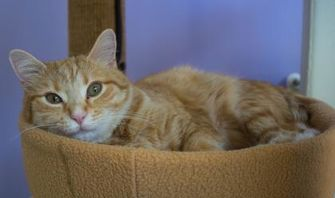 Domestic Shorthair/Domestic Shorthair Mix Cat for adoption in Chicago, Illinois - Purrnino