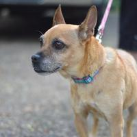 Chihuahua Mix Dog for adoption in Madison, Wisconsin - Charm