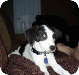Basset Hound Mix Puppy for adoption in Folsom, Louisiana - Allison