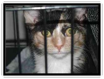 Domestic Shorthair Kitten for adoption in E. Wareham, Massachusetts - Doodles