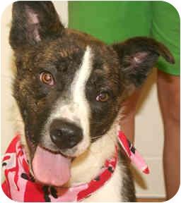 Boxer Mix Dog for adoption in Cincinnati, Ohio - Bugger