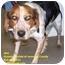 Photo 1 - Spaniel (Unknown Type)/Beagle Mix Dog for adoption in Somerset, Pennsylvania - Nick