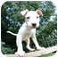 Photo 3 - American Pit Bull Terrier Mix Puppy for adoption in Reisterstown, Maryland - Frank