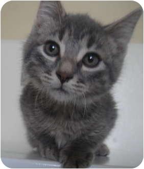 Domestic Mediumhair Kitten for adoption in Barron, Wisconsin - Samuel