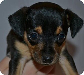 Chihuahua Mix Puppy for adoption in El Dorado Hills, California - Dakota