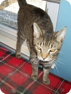 Domestic Shorthair Cat for adoption in Philadelphia, Pennsylvania - COOPER