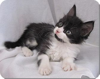 Domestic Shorthair Kitten for adoption in Columbia, Illinois - Dee Dee