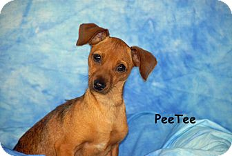 Chihuahua/Dachshund Mix Dog for adoption in Ft. Myers, Florida - Pee-Tee