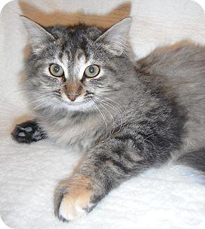 Domestic Longhair Kitten for adoption in Jackson, Michigan - Cleo