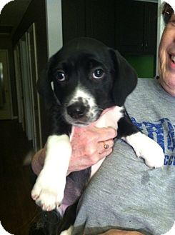 Labrador Retriever Mix Puppy for adoption in East Hartford, Connecticut - Mable ADOPTION PENDING