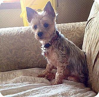 Yorkie, Yorkshire Terrier Dog for adoption in Albion, Rhode Island - Harlie