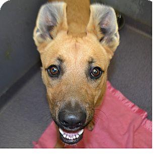 Shepherd (Unknown Type) Mix Puppy for adoption in Edwardsville, Illinois - Willis