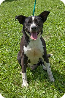 Australian Cattle Dog Mix Dog for adoption in Martinsville, Indiana - Connor