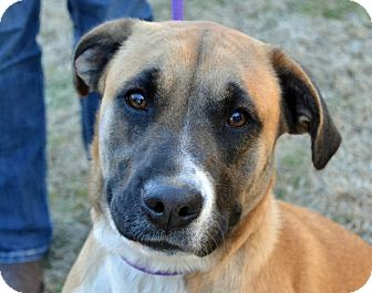 Shepherd (Unknown Type)/Hound (Unknown Type) Mix Dog for adoption in Searcy, Arkansas - Christy