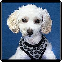 Adopt A Pet :: Vinnie - Fort Braff, CA