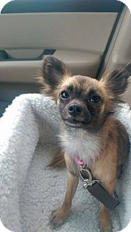 Chihuahua Mix Dog for adoption in New Oxford, Pennsylvania - Mya