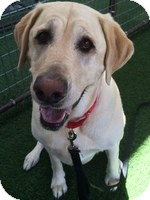 Labrador Retriever Dog for adoption in Torrance, California - Casey Mae