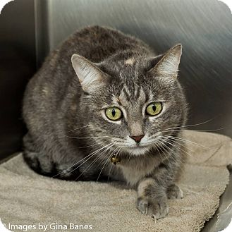 Domestic Shorthair Cat for adoption in Sierra Vista, Arizona - Abby