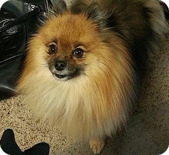 Pomeranian Dog for adoption in Bend, Oregon - Ty