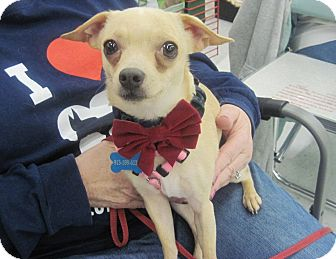 Chihuahua Mix Dog for adoption in Overland Park, Kansas - Peanut
