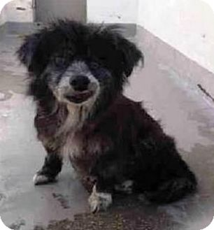 Pomeranian/Pekingese Mix Dog for adoption in Bunnell, Florida - Dory