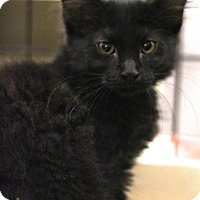 Adopt A Pet :: Silky - Sacramento, CA