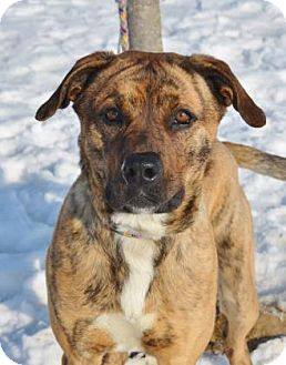 Boxer/Retriever (Unknown Type) Mix Dog for adoption in Bellefontaine, Ohio - Roo