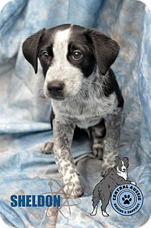 Australian Shepherd/Australian Cattle Dog Mix Puppy for adoption in St. Louis, Missouri - Sheldon