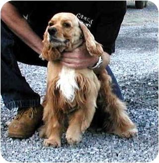 Cocker Spaniel Dog for adoption in Ephrata, Pennsylvania - Bear