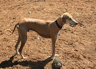 Saluki Dog for adoption in Santa Rosa, California - Chevy