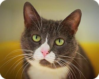 Domestic Shorthair Cat for adoption in Parma, Ohio - Socks