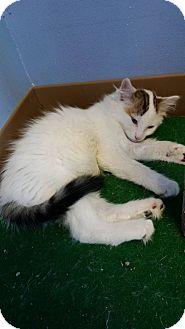 Domestic Shorthair Kitten for adoption in Brookings, South Dakota - Eddison