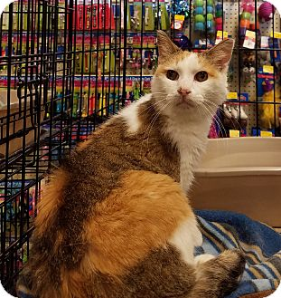 Calico Cat for adoption in Toledo, Ohio - Hera
