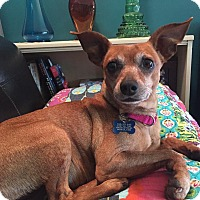 Adopt A Pet :: Joelle - Troy, MI