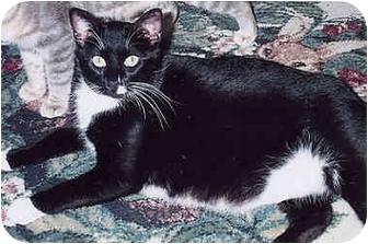 Domestic Shorthair Cat for adoption in Owatonna, Minnesota - Bear