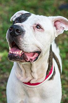 American Bulldog Dog for adoption in Miami, Florida - Monk