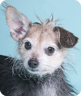 Cairn Terrier/Chihuahua Mix Dog for adoption in Chicago, Illinois - Snickers