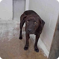 Labrador Retriever Mix Dog for adoption in Rosenberg, Texas - A010784