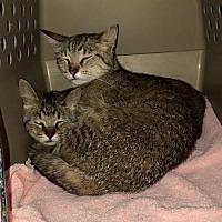 Adopt A Pet :: Barn Cats - Byron Center, MI